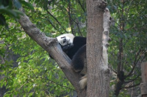 Pandas are really good climbers and prefer to sleep in trees
