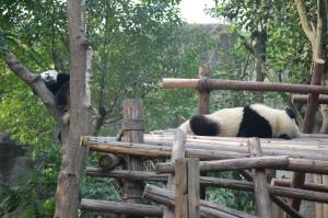 Passed out panda