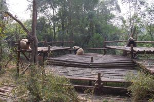 Three sleepy pandas