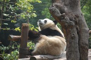 Half-awake panda