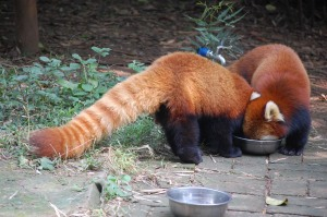 Red pandas eating out of one food bowl
