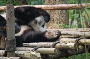 Huge Panda Paw