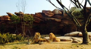Lions lazing around