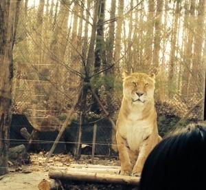 Regal liger