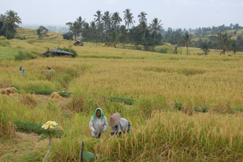 Workers in Jatiluwih rice terrace
