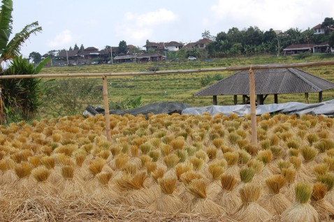 Rice stalk drying process