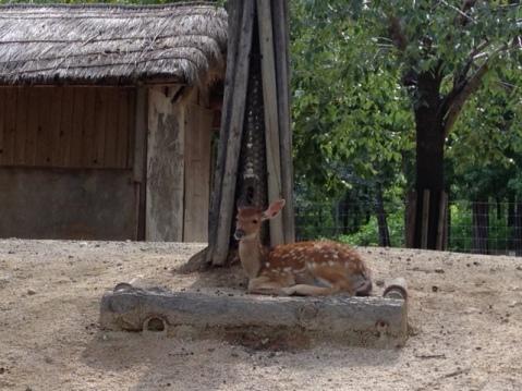 A fawn!