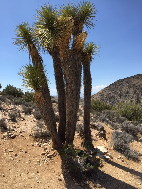 Close-up of a Joshua Tree