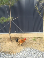 Rooster!