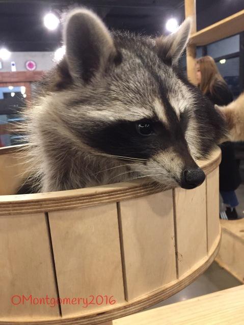 baby raccoon dogs
